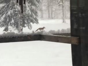 FF - FOX